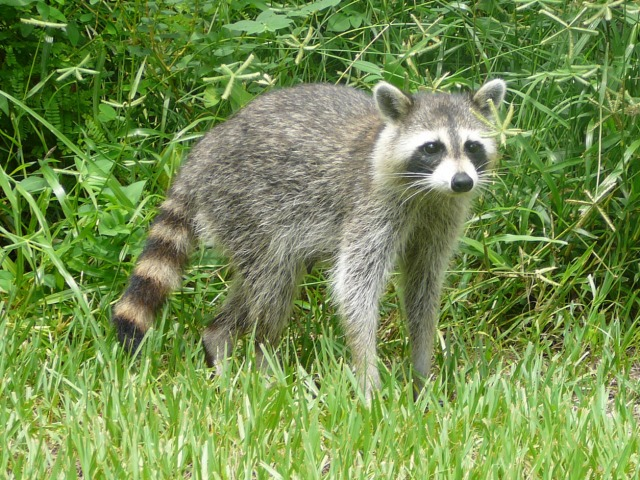 Procyon_lotor_(Common_raccoon)