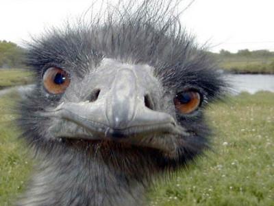 Ostrich-400x300