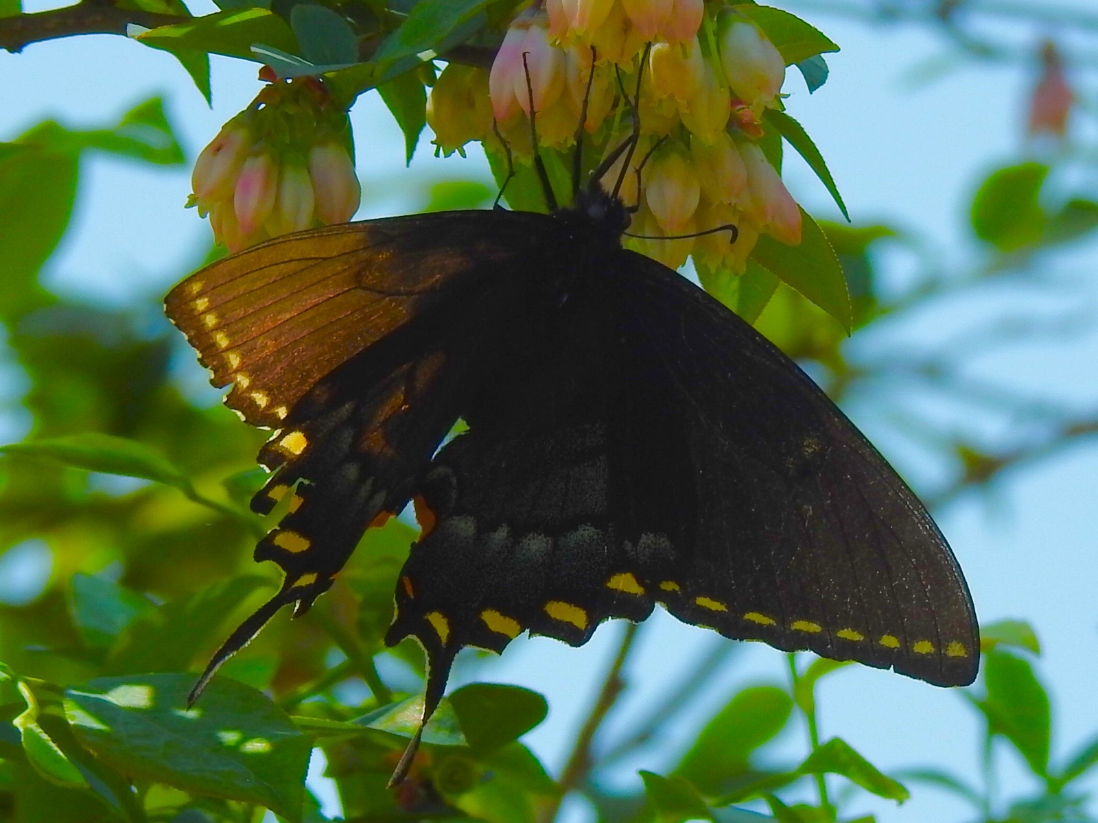 Purple spotted swallowtail - photo#27