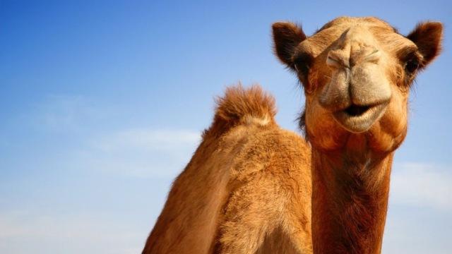 GTY_camel_jtm_140822_16x9_992