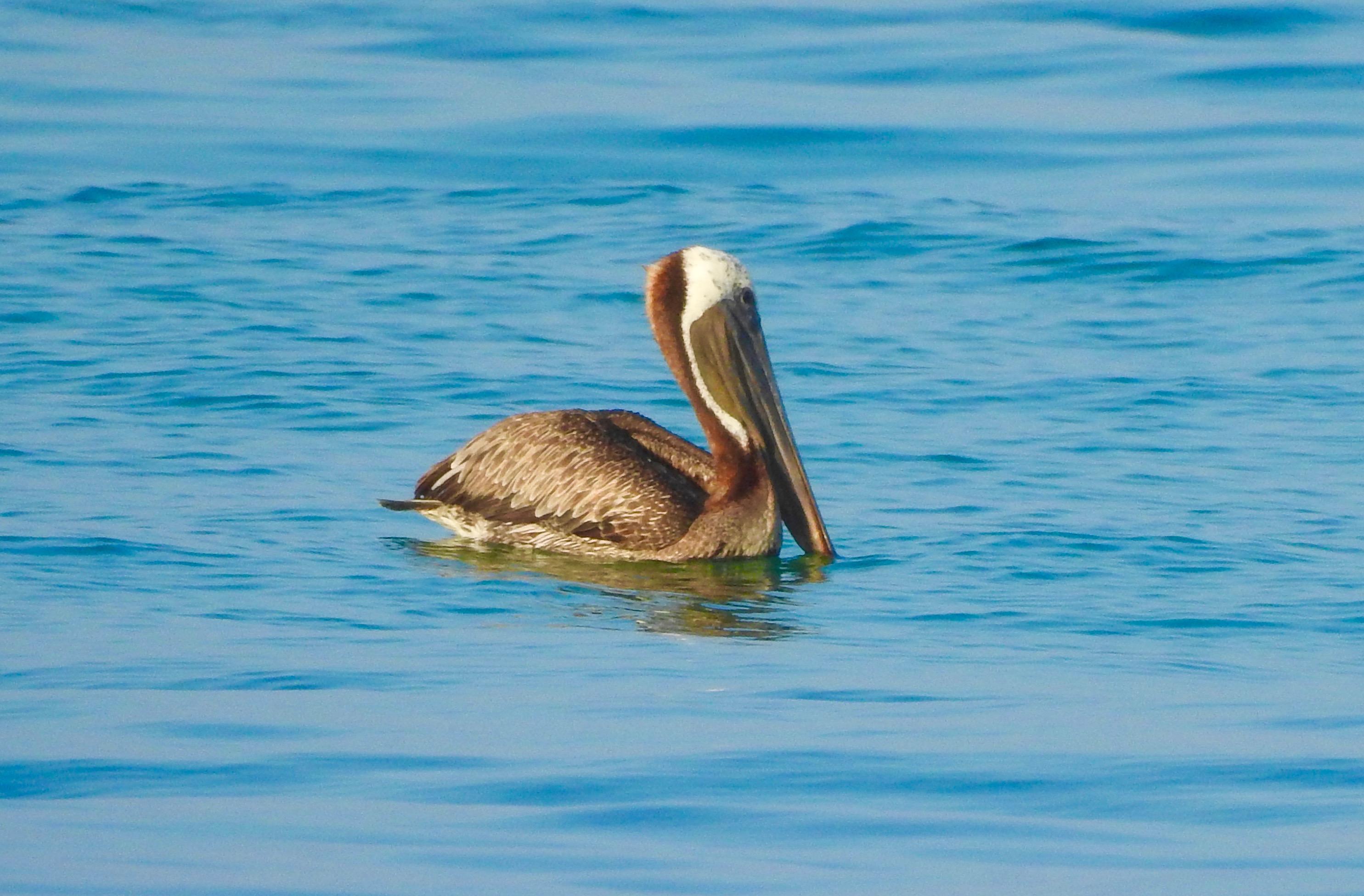 Pelicans Cookiecrumbstoliveby